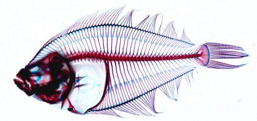 生きもののしくみを知ろうスペシャル「透明骨格標本 」