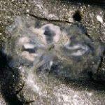 ミズクラゲ